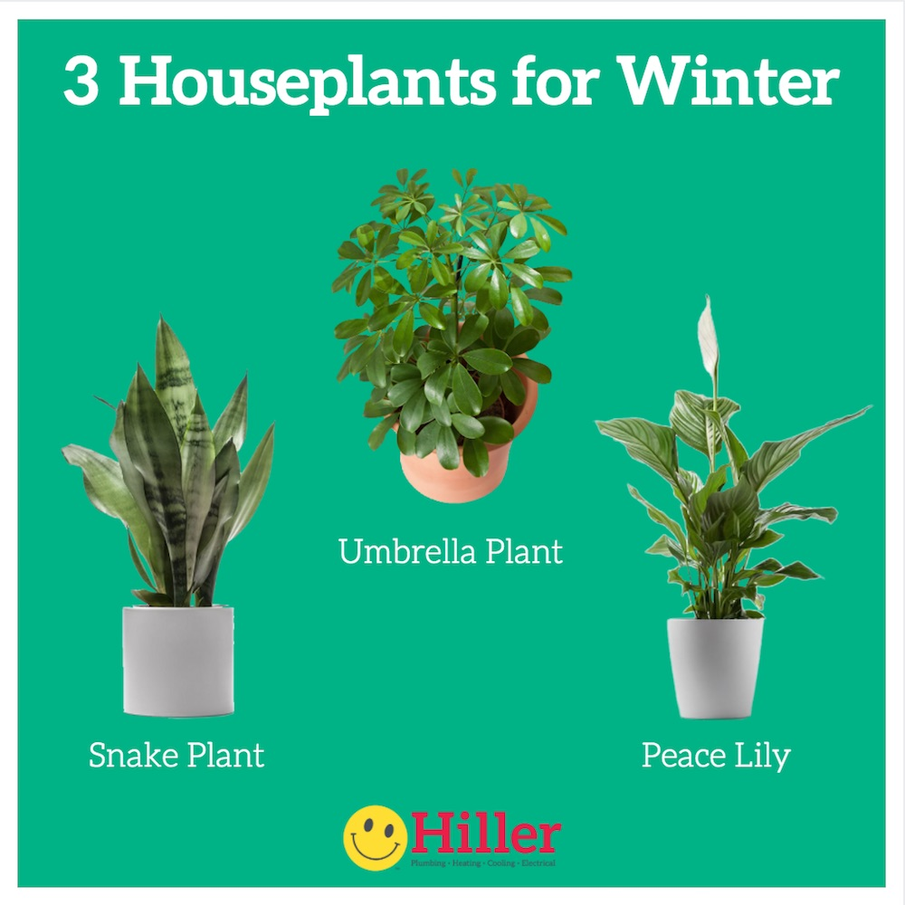 3 NASA-approved houseplants for winter - Snake Plant, Umbrella Plant, Peace Lily