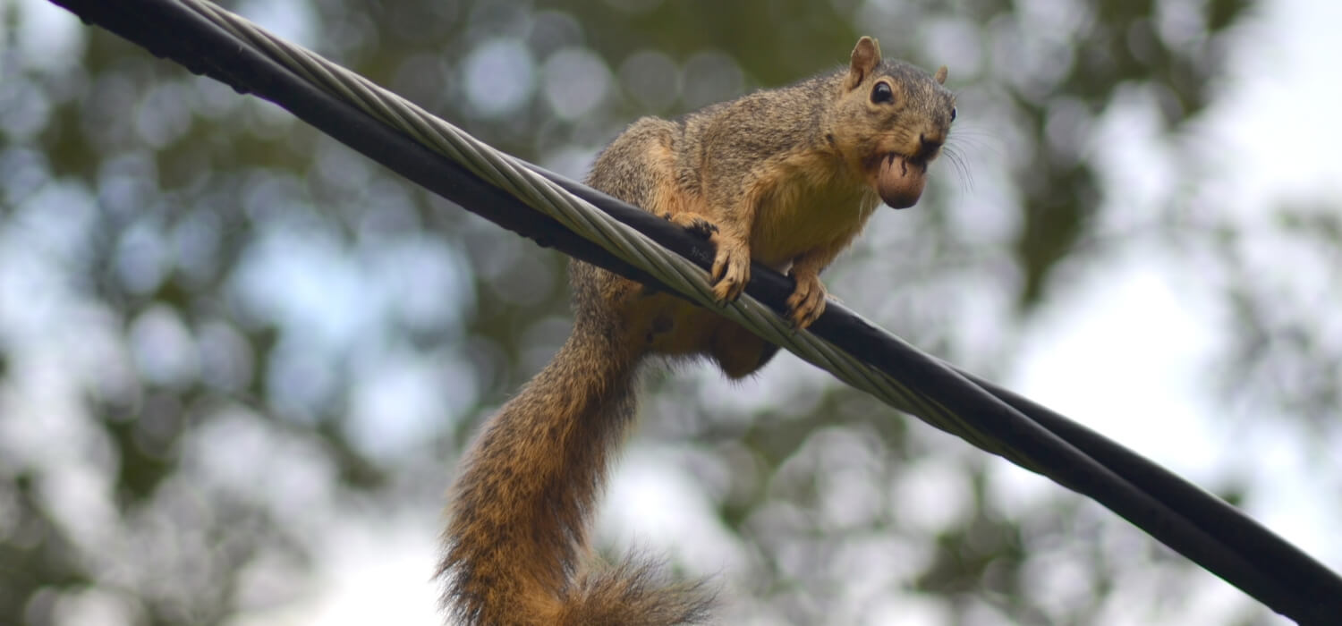 Squirrel on Main Cable Line Causing Flickering Lights